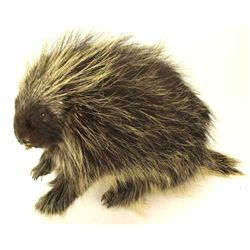 "Porcupine mount 25"" long."