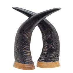 Rare Large Water Buffalo Horn Pair (CLB-361)