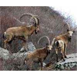 7-day Mid Asian Ibex hunt for one hunter in Kyrgyz Republic - includes trophy fees