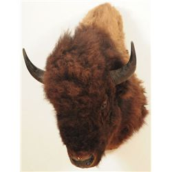 Buffalo Taxidermy Mount Jonas Brothers