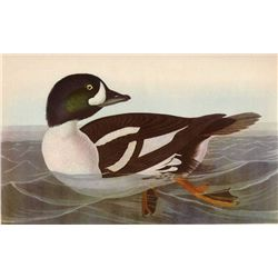 Audubon  Barrow's Golden Eye  - 1937 Lithograph