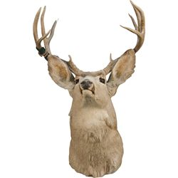 8-Point Stuffed Mule Deer Head