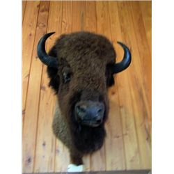 Bison mounted head,