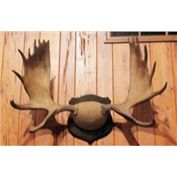 Moose Antlers on 14 inch base