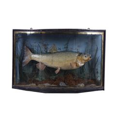 Victorian Era Mounted Bass in Bow Front Shadowbox