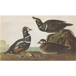 John James Audubon Circa 1946 HARLEQUIN DUCK MATTED PR
