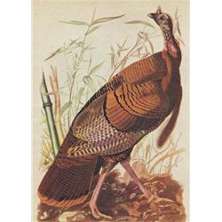 John James Audubon Circa 1946 WILD TURKEY MATTED PRINT