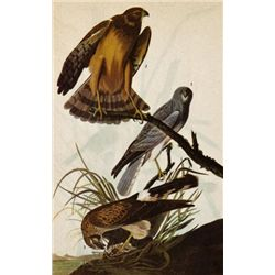 MWF1564~ MARSH HAWK ~ FRAMED MATTED PRINT ~ 14 X 11 ~Th