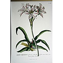 African Lilies Botanical