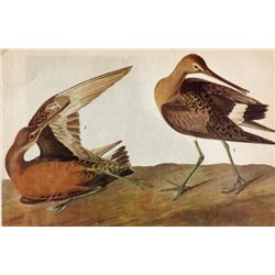 ~ HUDSONIAN GODWIT ~ The Birds of America - John James