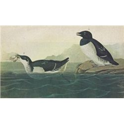 DOVEKIE MATTED PRINT John James Audubon Circa 1946