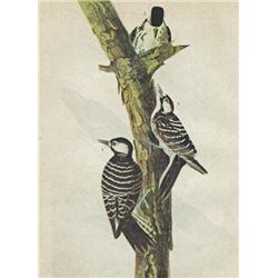 John James Audubon Circa 1946 RED-COCKADED WOODPECKER