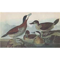 RUDDY DUCK MATTED PRINT John James Audubon Circa 1946
