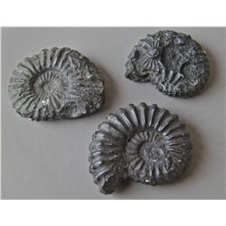 Set of (3) Ammonite Fossils …