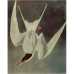 "Audubon ""Common Tern"" - 1937 Lithograph"
