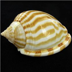 Scarce Collectible Cassis Strigatum Shell (SHL-000070)