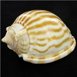 Scarce Collectible Cassis Strigatum Shell (SHL-000071)