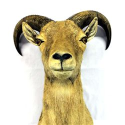 Barbary Sheep Taxidermy Mount