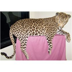 Taxidermy JAGUAR