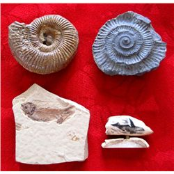 Ancient Fish Fossilized Rocks & Whale Tooth