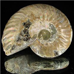 170ct Opalized Ammonite (MIN-002141)