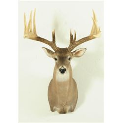 Whitetail 16pt Mount