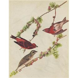 John James Audubon Circa 1946 PURPLE FINCH MATTED PRIN