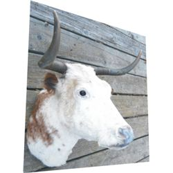 mounted cow head, nice horns