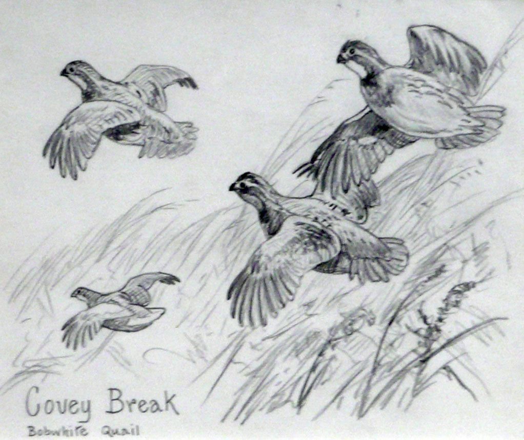 Covey Break Bobwhite Quail  Quail Flying Drawing
