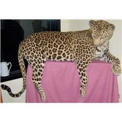 Jaguar Taxidermy