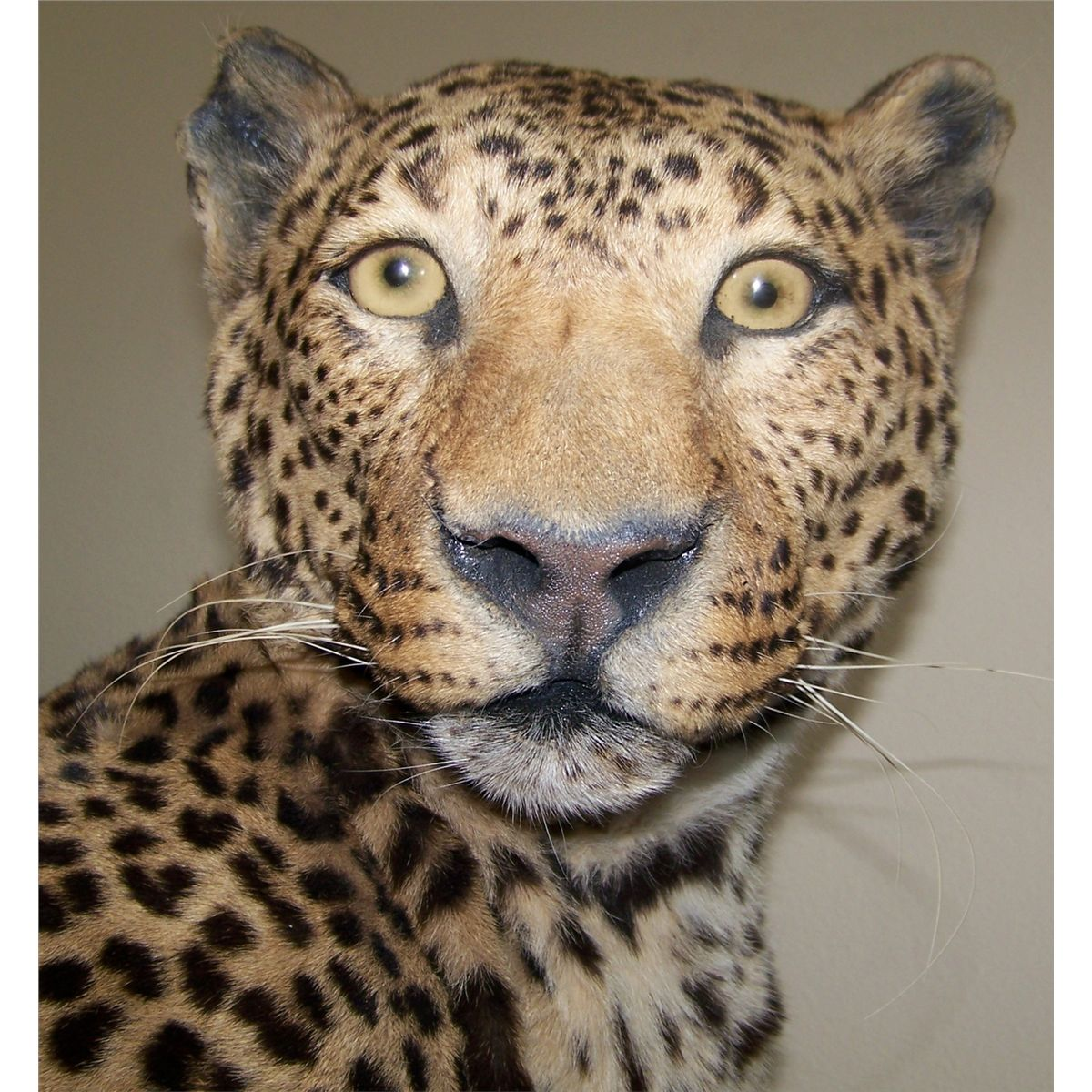 Leopard V Jaguar: Jaguar Taxidermy