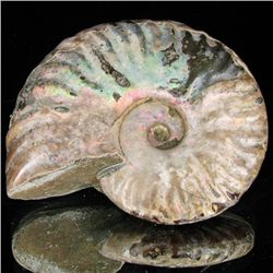 180ct Opalized Ammonite (MIN-002093)