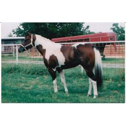 Texas Six -  Bay Tobiano APHA Stallion