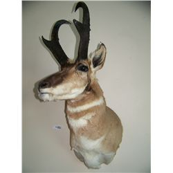 GORGEOUS WALL MOUNTED ANTELOPE TAXIDERMY, IN GREAT CONDITION 32T X 15W