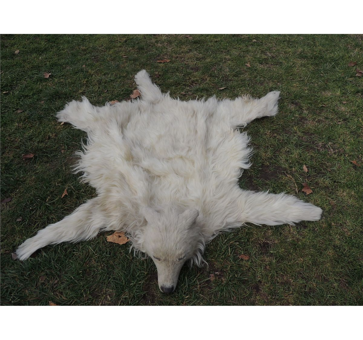 Wolf Skin Rug With Head Uniquely Modern Rugs