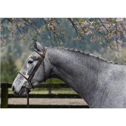 Alberto SF - 2009 Grey Oldenburg Gelding - 16+hh