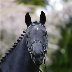 Ebony SF - 2009 Black KWPN Mare - 15.3hh