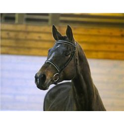 EMC COCO CHANEL SF - 2003 Bay Hanoverian Mare - 16.2hh
