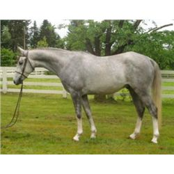 Aramis MA - 2008 Grey Oldenburg Gelding 15.1hh