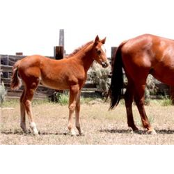 Name Pending - 2013  AQHA Filly