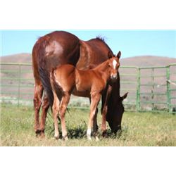 Name Pending - 2013 Sorrel AQHA Filly