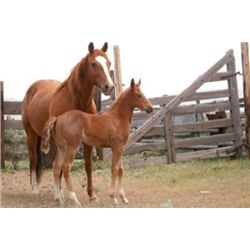 Name Pending - 2013 Red Roan AQHA Filly