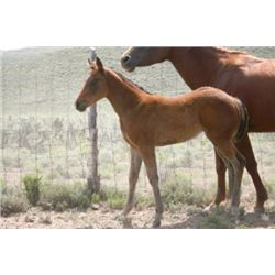 Name Pending - 2013 Bay AQHA Filly