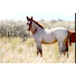 OUT of SALE - 2013 Red Roan AQHA Filly