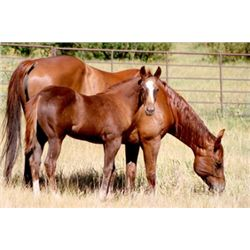Mr Starlights Lady - 2013 Sorrel AQHA Filly