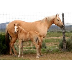 Pep In Your Step Boy - 2013 Palomino AQHA Stud Colt