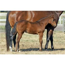 ?13 m./ Cool Debutante - 2013 Bay AQHA Filly