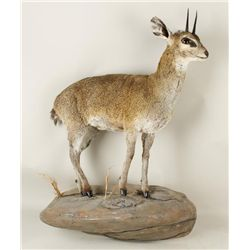 Klipspringer Full Mount Standing on Rock