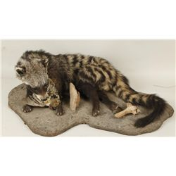 Civet Full Mount Laying on Ground with Bird