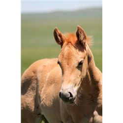 2013 Palomino Filly - 2013 Palomino AQHAX Filly